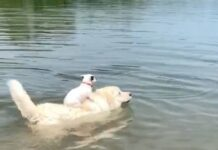 cani che nuotano