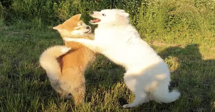 akita inu e samoiedo amici lottano per divertirsi