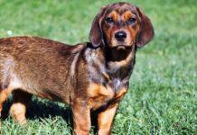 cane da caccia di taglia piccola