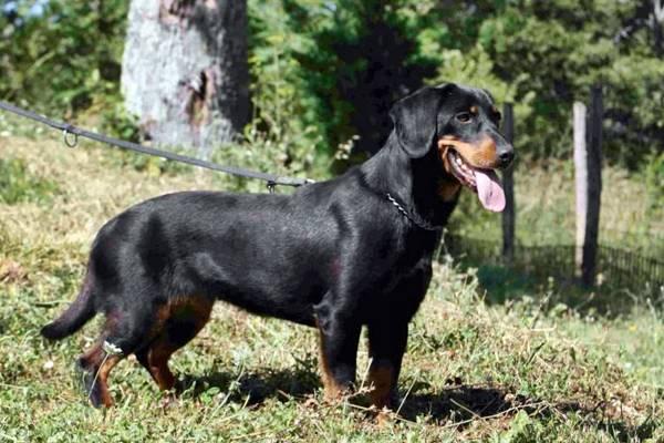 Alpenländische Dachsbracke: carattere e temperamento di questo cane