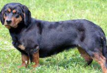 cane simile al bassotto