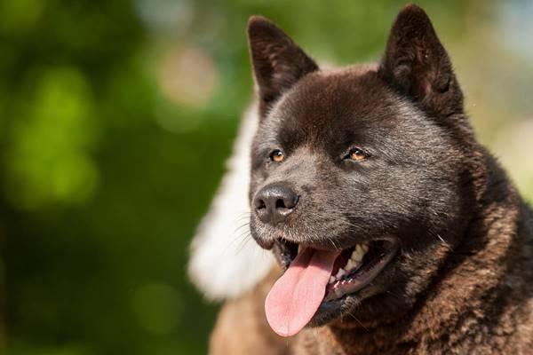 American Akita, foto bellissime e immagini stupende di questo cane