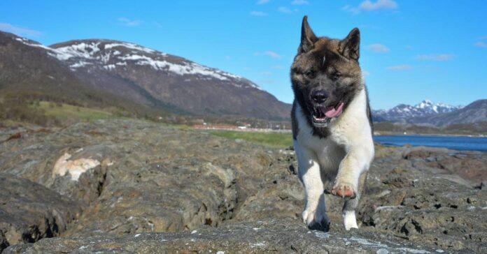 cane che corre in montagna