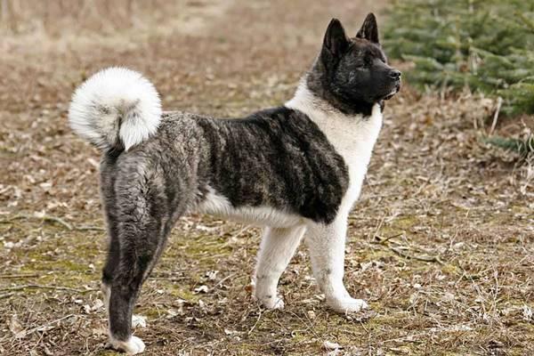 American Akita, storia: origini ed evoluzione di questa razza canina