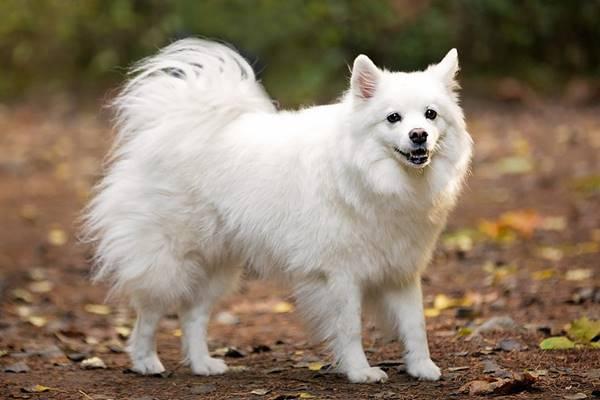 American Eskimo Dog, aspetto e difetti ricorrenti: tutto su di lui