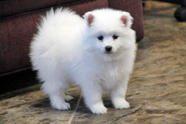 cucciolo di american eskimo dog
