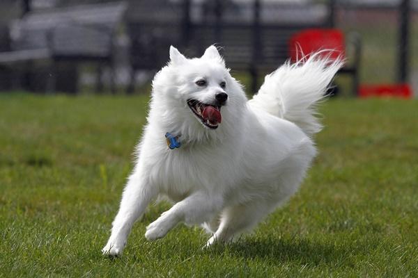 cane che corre in una competizione