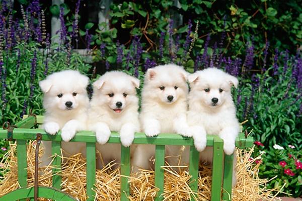 cuccioli di american eskimo dog