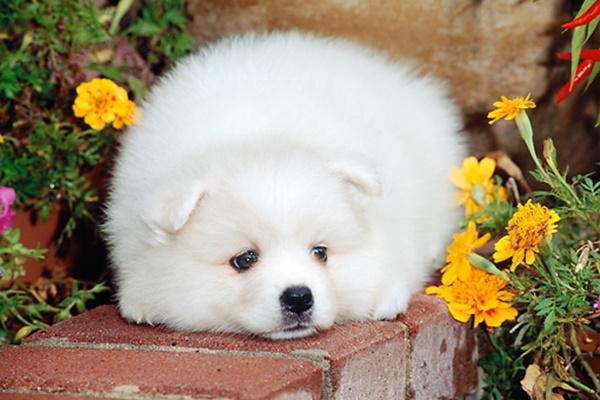 cucciolo bianco con il pelo lungo e morbido
