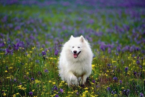 american eskimo dog corre tra i fiori