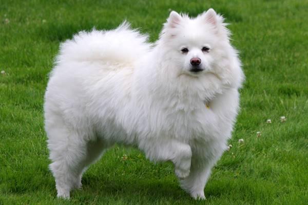 American Eskimo Dog storia e origini di questa razza di cane