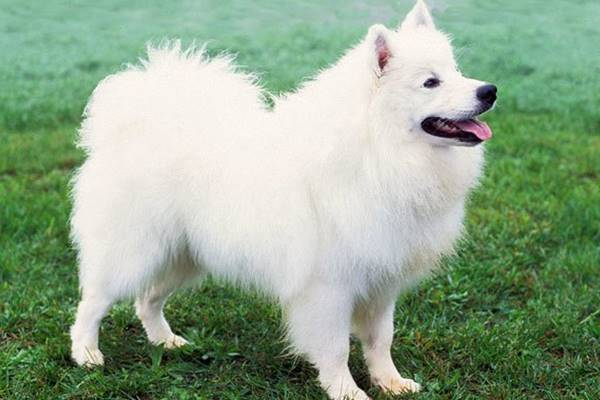 American Eskimo Dog, toelettatura: come farla al meglio