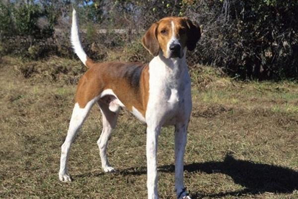 American Foxhound, carattere e temperamento: cosa sapere su di lui