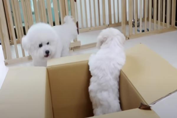 bichon grande teme il cucciolo