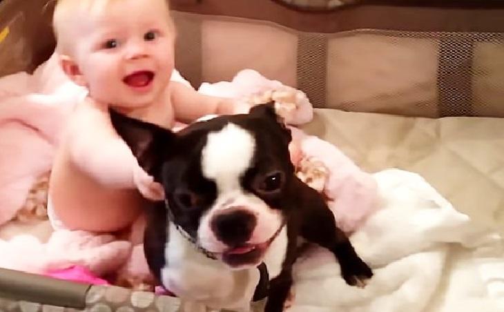 humphrey boston terrier keira