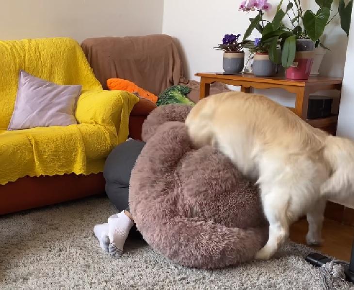 Cane golden retriever gioca a nascondino col proprietario (VIDEO)