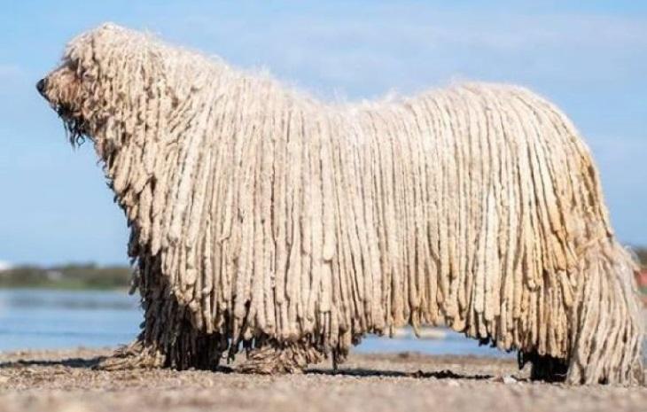 Cane Komondor entra in acqua e sorprende tutti sui social (VIDEO)