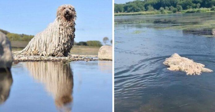cane komondor entra acqua sorprende social