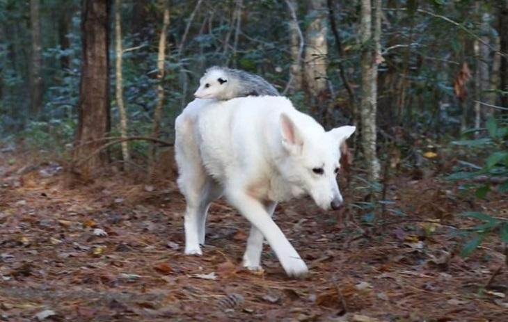 Cane pastore svizzero bianco adotta un piccolo opossum (VIDEO)