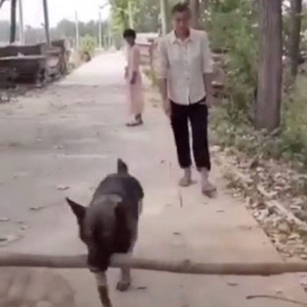 cane pastore tedesco intervento cammino