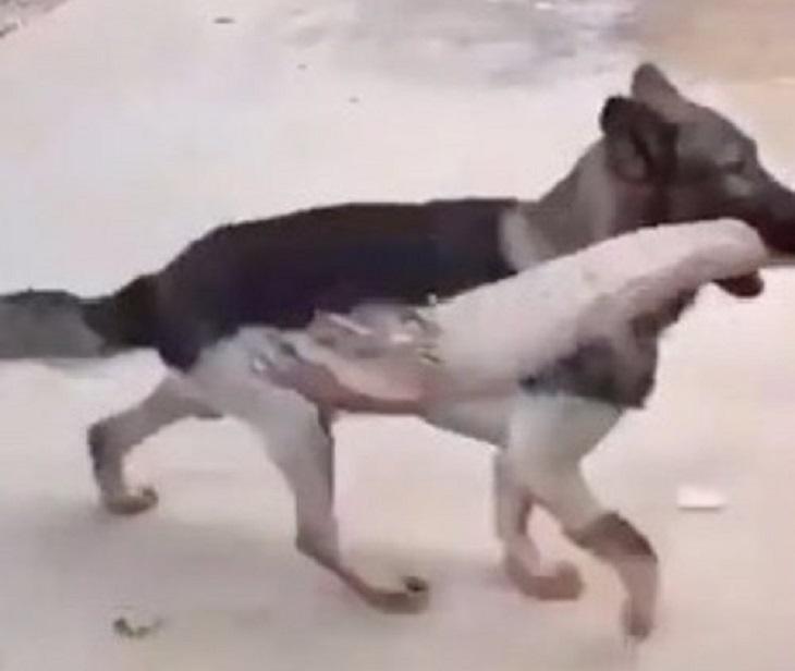 cucciolo pastore tedesco aiuta cieco