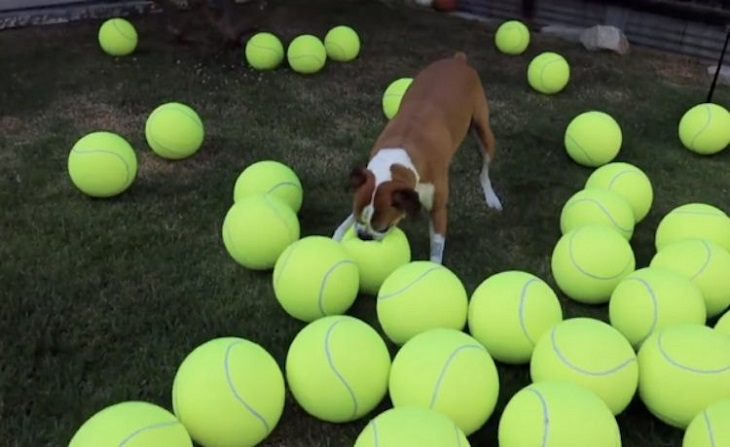 Cane sconfigge il cancro e festeggia con palle da tennis giganti (VIDEO)