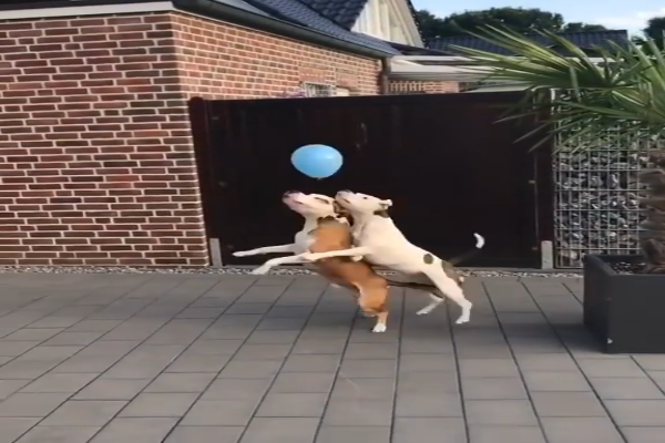 cani saltano