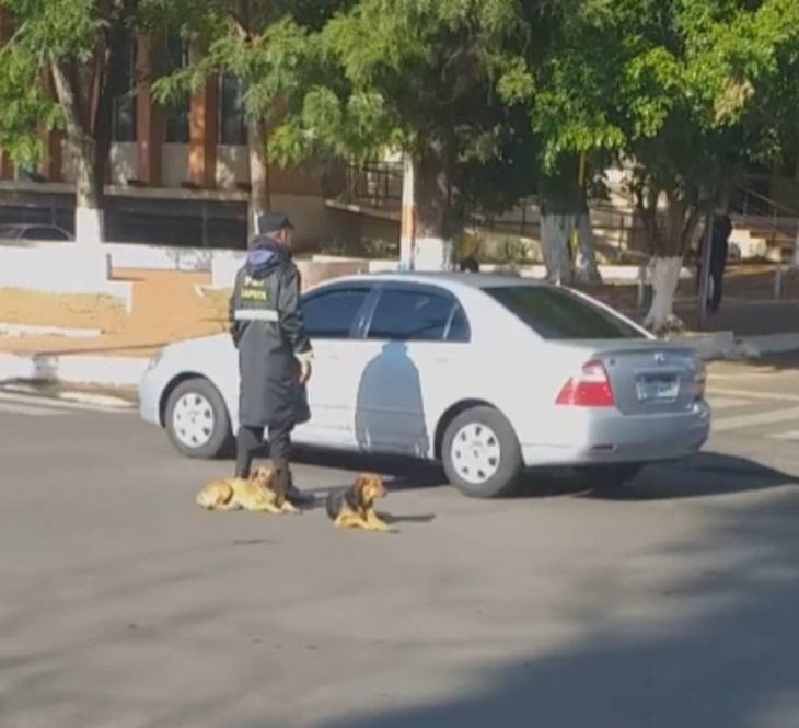 Cani randagi aiutano l'ufficiale a dirigere il traffico (VIDEO)