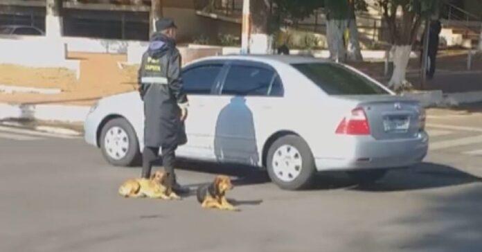cani randagi aiutano ufficiale traffico