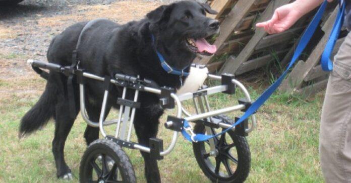 cani ricevono sedie rotelle grazie lavoro 90enne