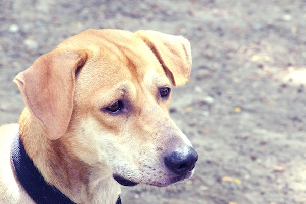 Capire se il cane ha la rogna: sintomi e segnali che mettono in allarme