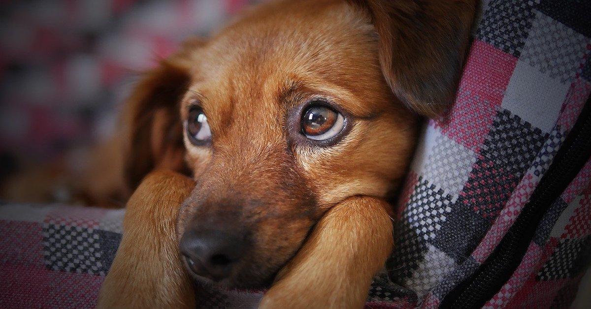 cane malato e triste si accascia