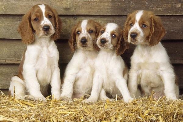 cuccioli di Welsh Springer Spaniel nel granaio