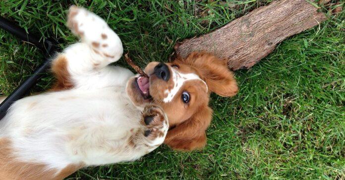 cucciolo di Welsh Springer Spaniel disteso