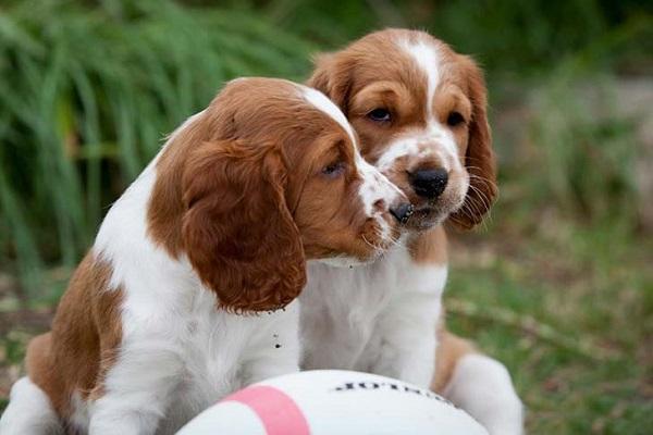 cuccioli di Welsh Springer Spaniel che giocano