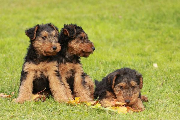Cuccioli di Welsh Terrier: caratteristiche e cosa sapere su di loro