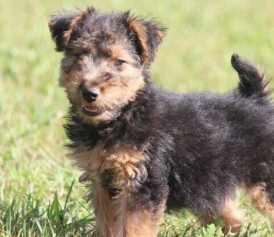 cuccioli di Welsh Terrier
