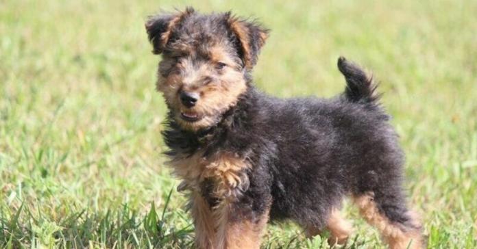 cuccioli di Welsh Terrier