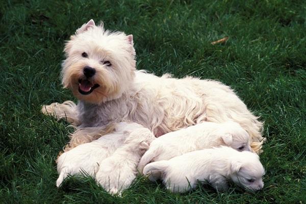 mamma e cuccioli di cane bianchi