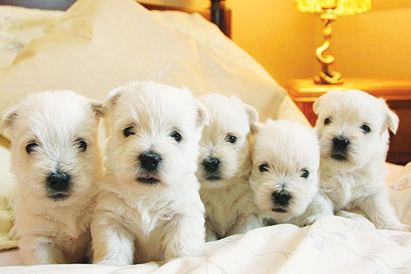cani West Highland Terrier su letto