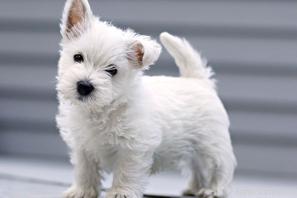 cucciolo di cane West Highland Terrier