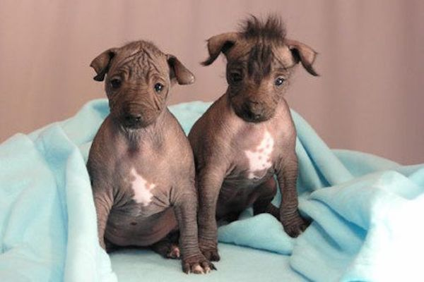 Cuccioli di cane Xoloitzcuntle: cosa sapere e come prendersene cura