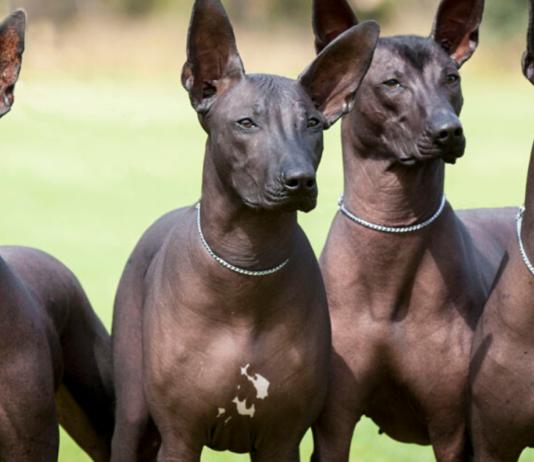 cuccioli di Xoloitzcuntle