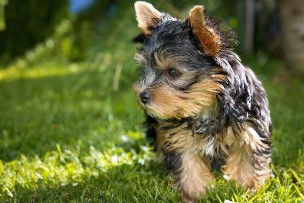 Cuccioli di Yorkshire Terrier: tutto quello che bisogna sapere su di loro