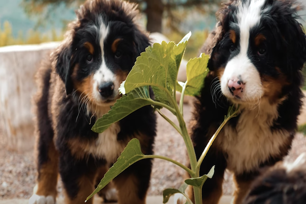 Cuccioli di Bernese giocano in slow motion: la bellezza al rallentatore (video)
