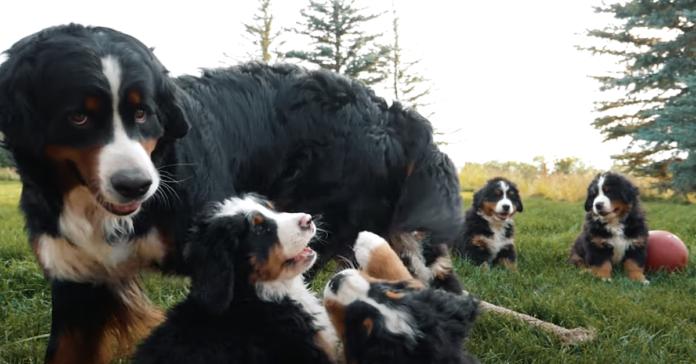 cuccioli di bernese giocano felici