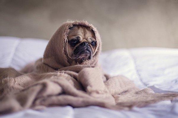 cani con coperta