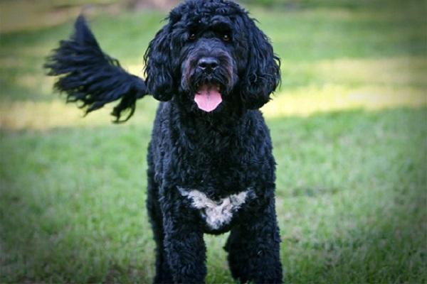Cão de água português cane nero