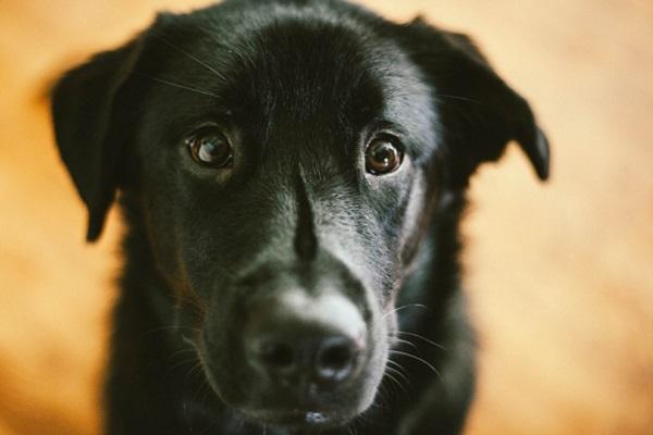 cane nero a pelo lungo