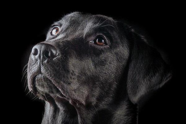 cane curioso nero